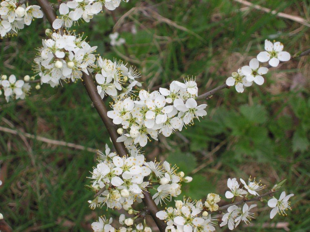 Sleedoorn_bloemen_(Prunus_spinosa)